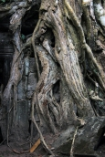 Knotted reality. The base of one of the trees overrunning the ruins of Angkor Thom.